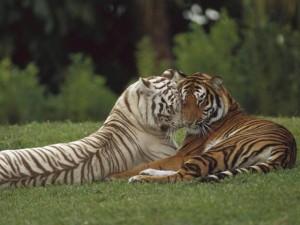 Популацията на тигрите